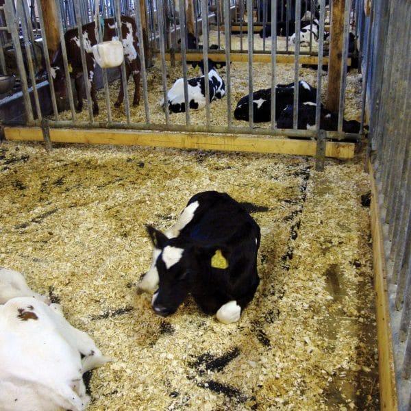 New calf on KRAIBURG SIESTA rubber flooring