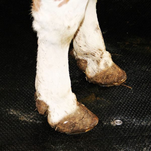 Cow standing on KRAIBURG pediKURA rubber flooring