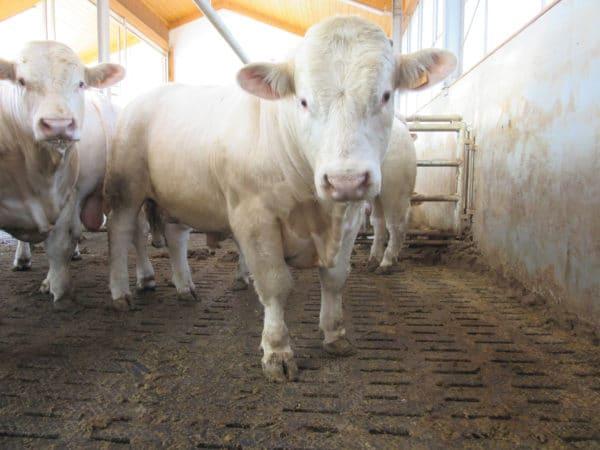 Beef Cow on KRAIBURG LOSPA SB