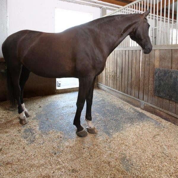 Horse Standing on BELMOND Horse Stall Mats