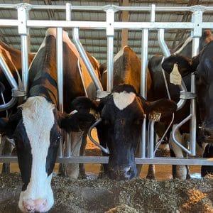 Holsteins in Agromatic Headlocks.