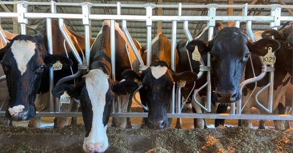 Holsteins in Agromatic Headlocks