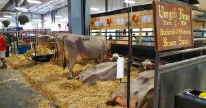 Voegeli Farm, Monticello, Wisconsin Brown Swiss cows since 1854.