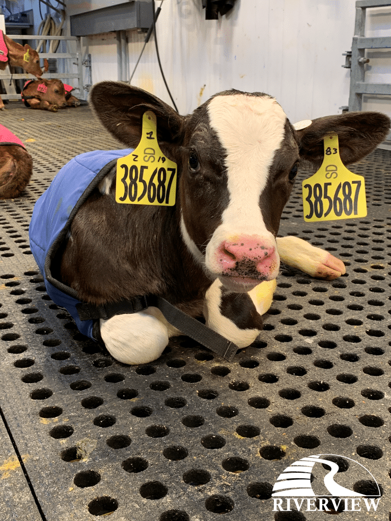 Newborn calf laying on LOMAX rubber mats at Riverview LLP dairy farm in Morris, Minnesota