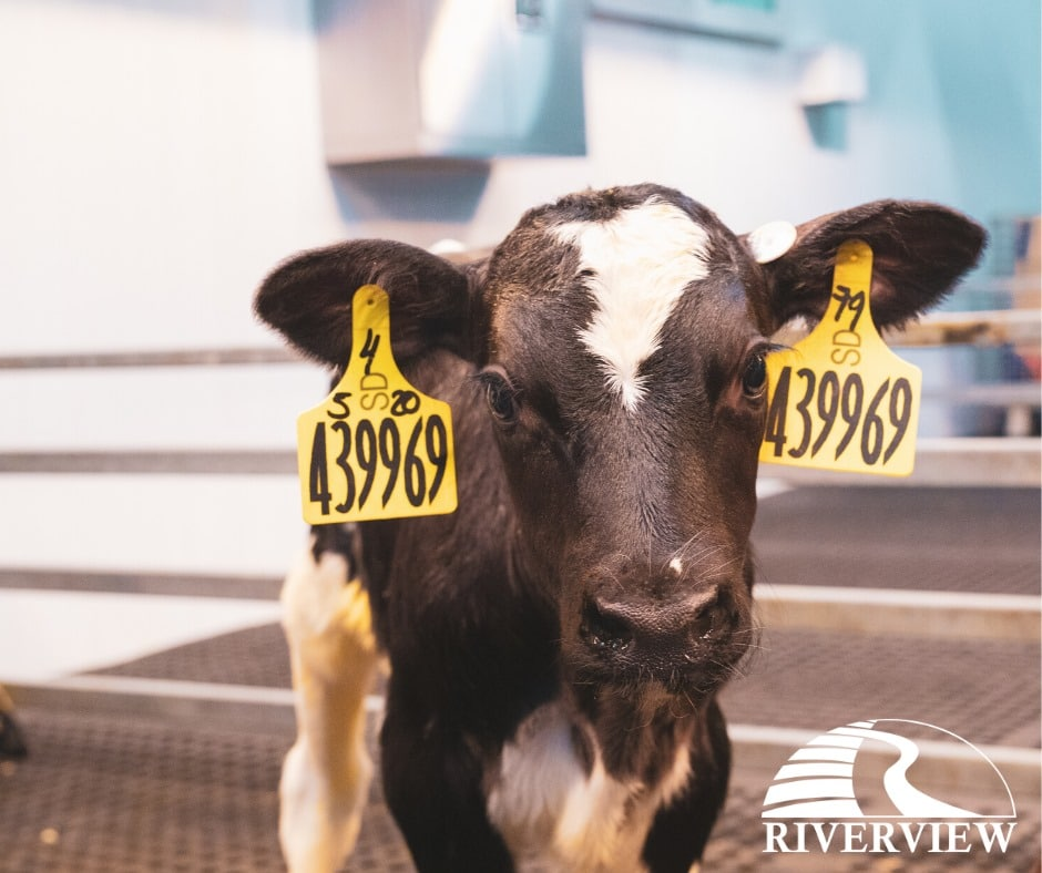 Holstein calf standing on LOMAX rubber mats at Riverview LLP dairy farm in Morris, Minnesota