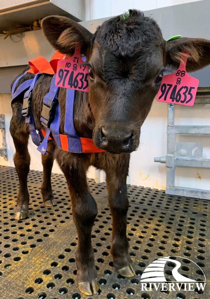 Cute calf wearing harness standing on LOMAX rubber mats at Riverview LLP dairy farm in Morris, Minnesota