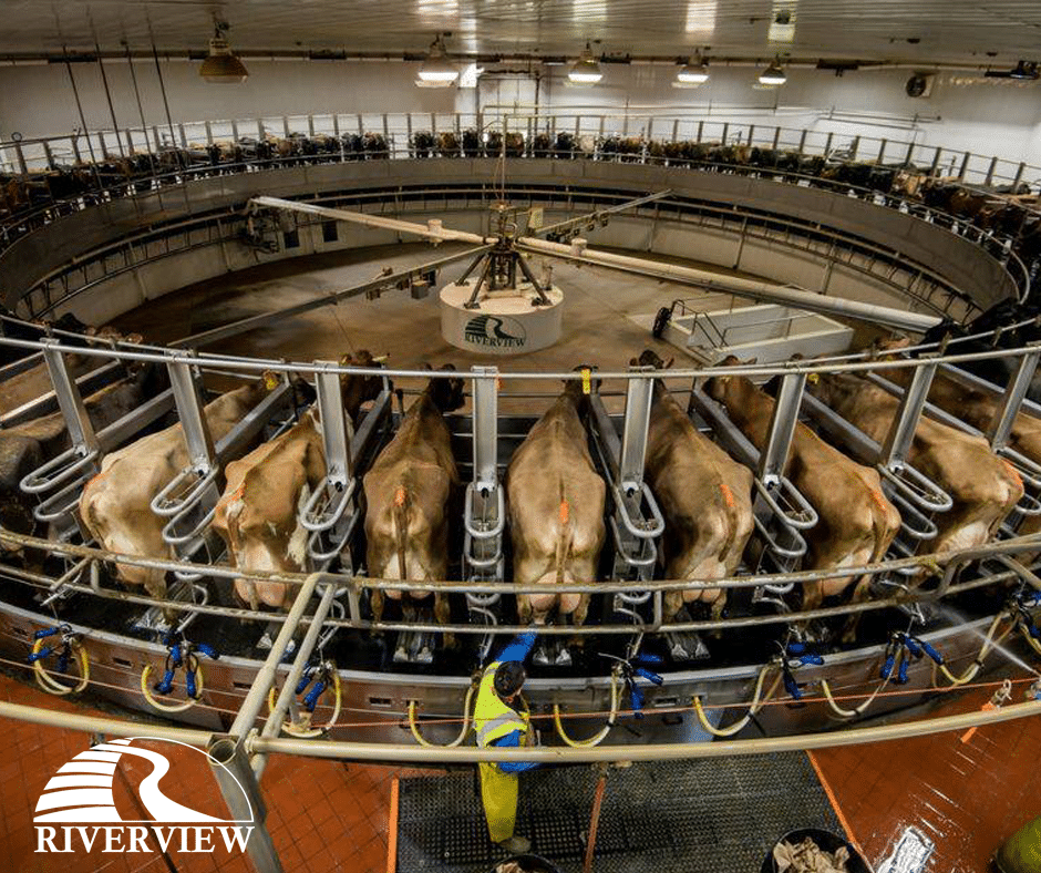Dairy cows being milked on rotary parlor at Riverview LLP dairy farm in Morris, Minnesota