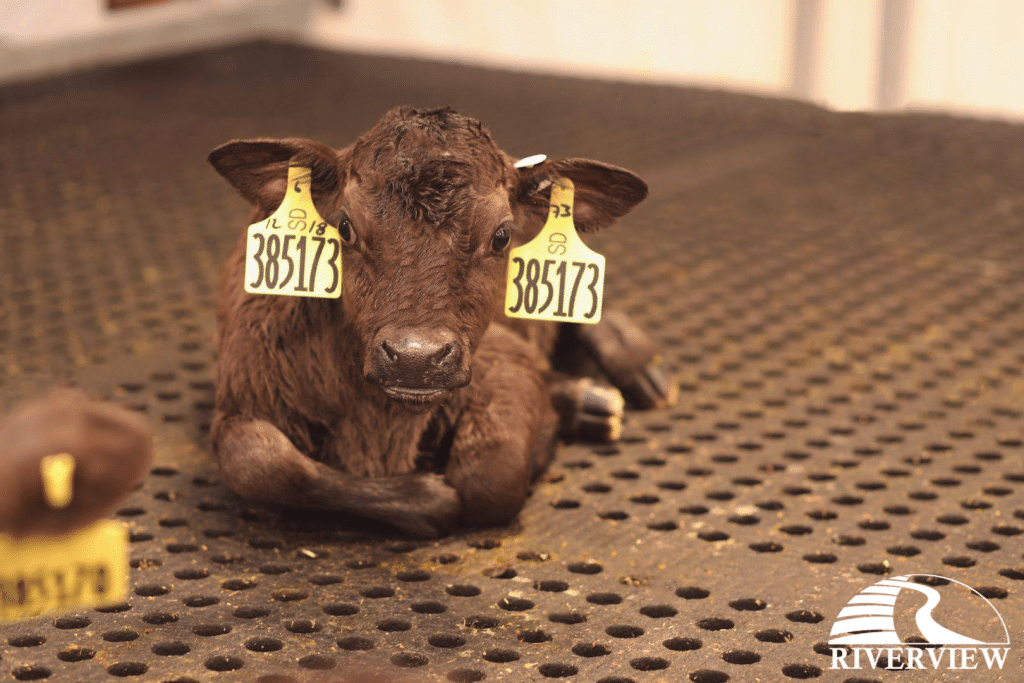 Calf laying on LOMAX rubber mats at Riverview LLP dairy farm in Morris, Minnesota